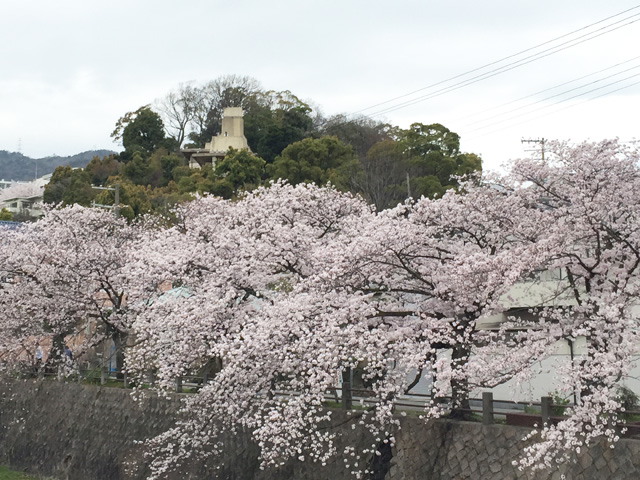 japan,sakura,ashiya