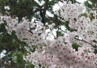 japan,sakura