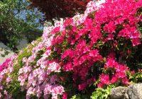 japan, flower. azalea
