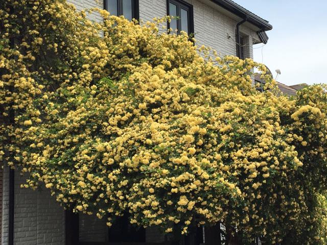 japan, flower. mimosa