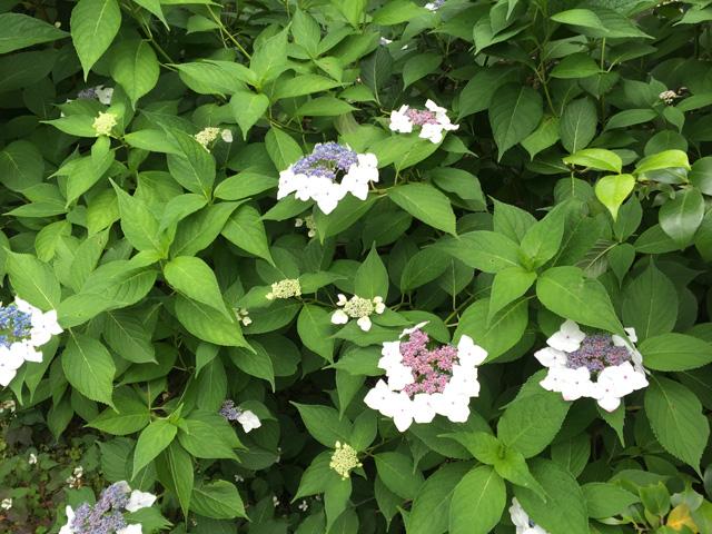 japan, hydrangea,flower