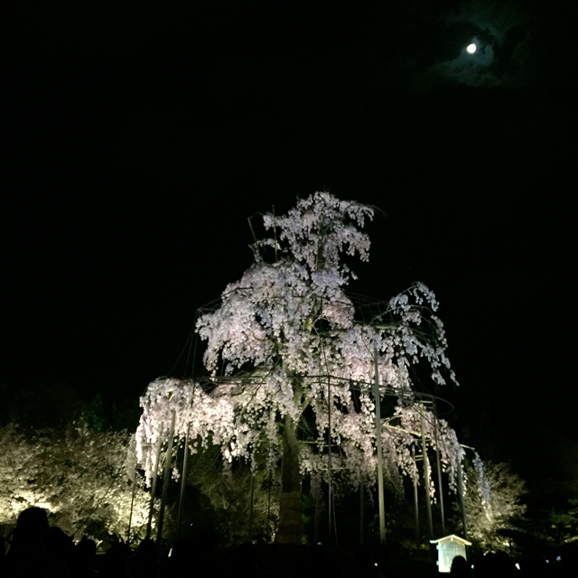 kyoto, toji, cherry blossom at night, yozakura, 2017